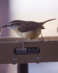 Carolina Wren on feeder