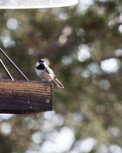 Chickadee on feeder