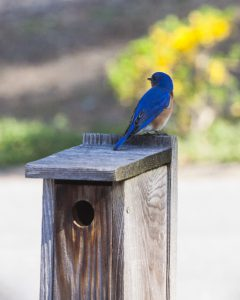 Bluebird on bird house.